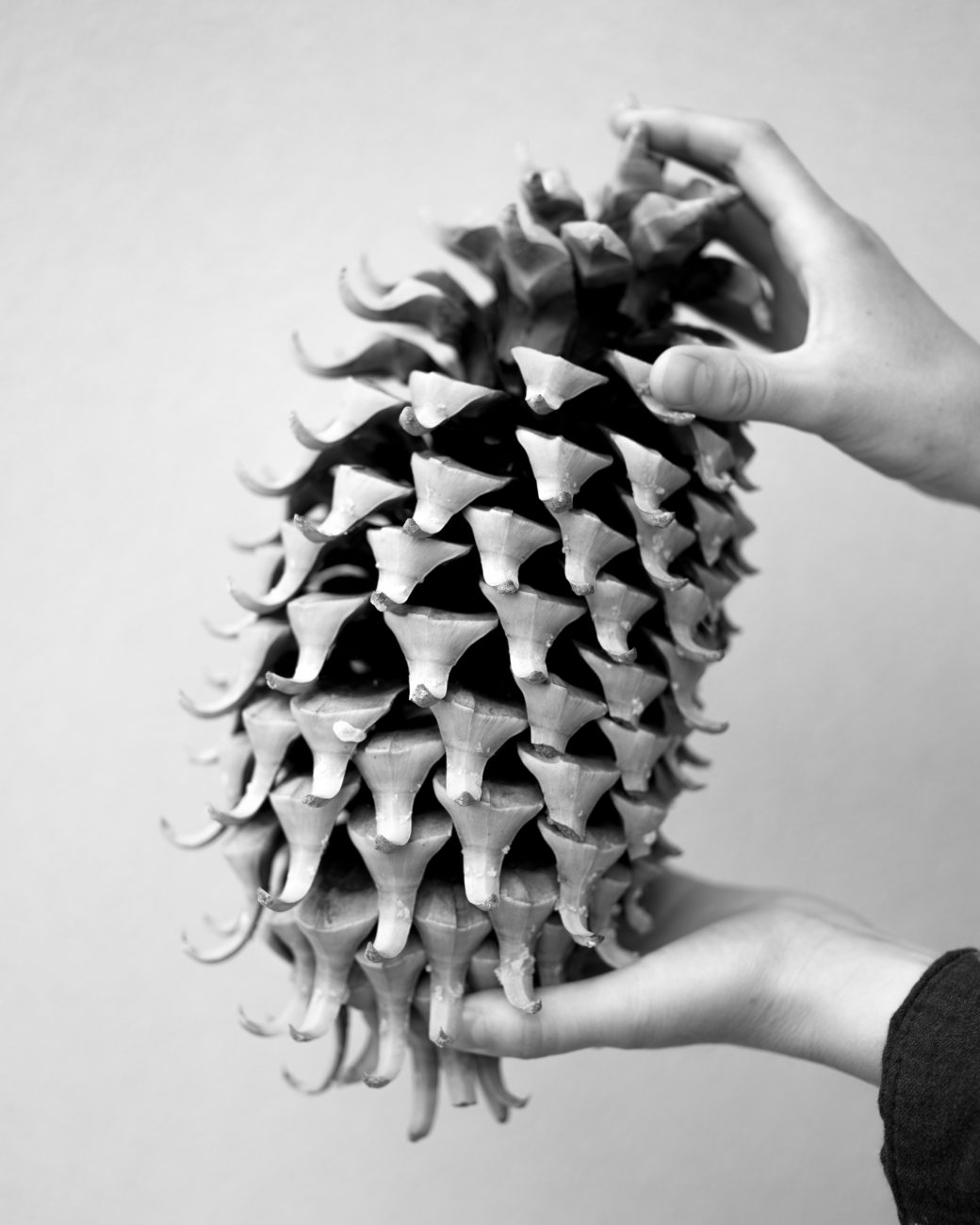 Black and white image of two hands holding a large Bristlecone pine cone