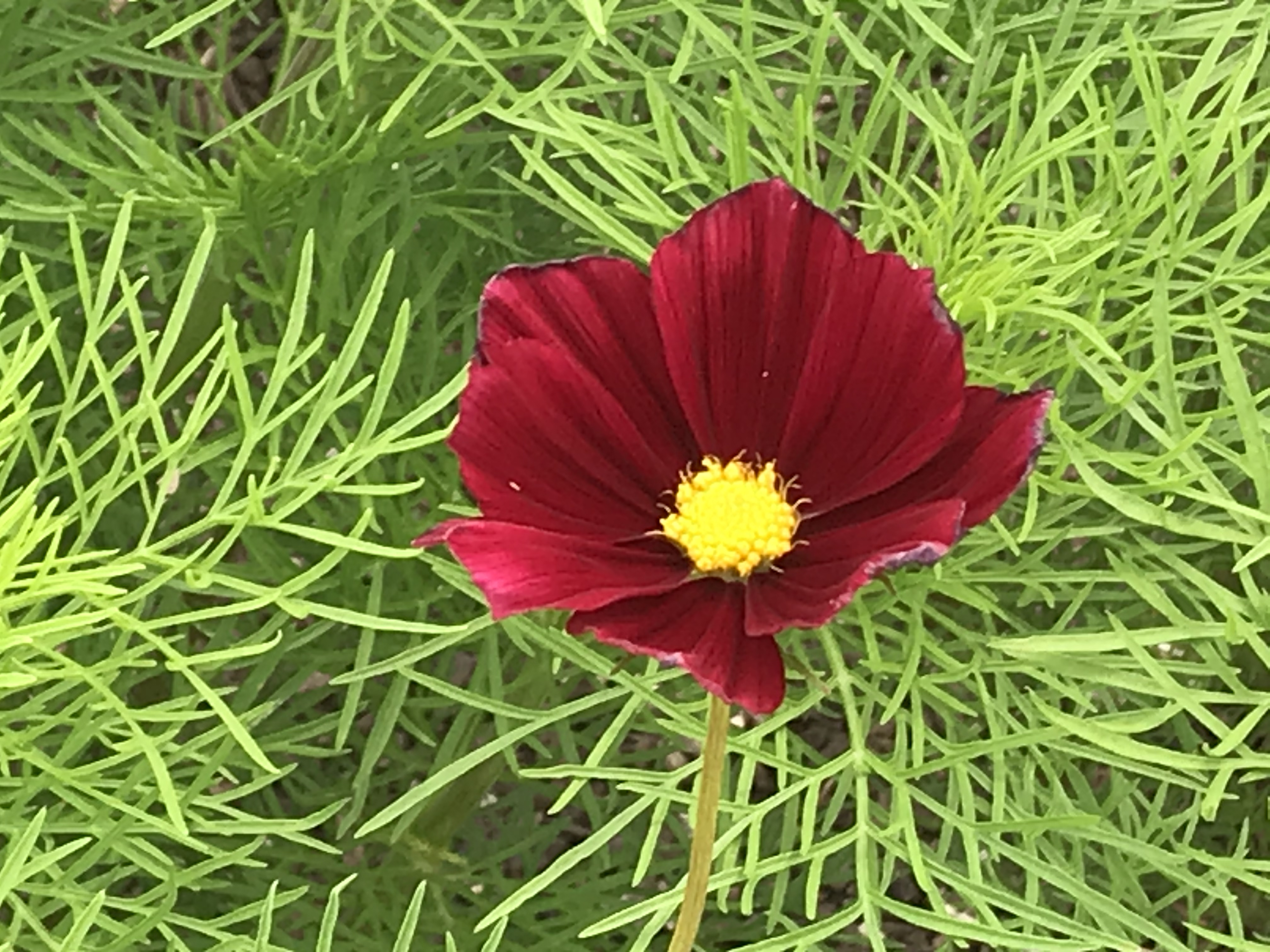 A dark red flower with a yellow center blooms amid green spiky stems and leaves