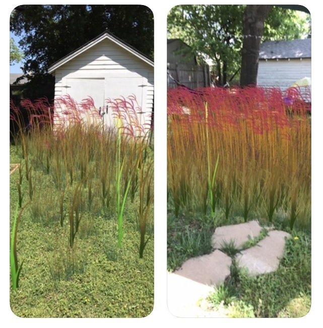 Digital images of bluestem prairie grass in a backyard environment